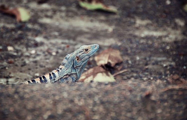 Lizzard in Costa Rica